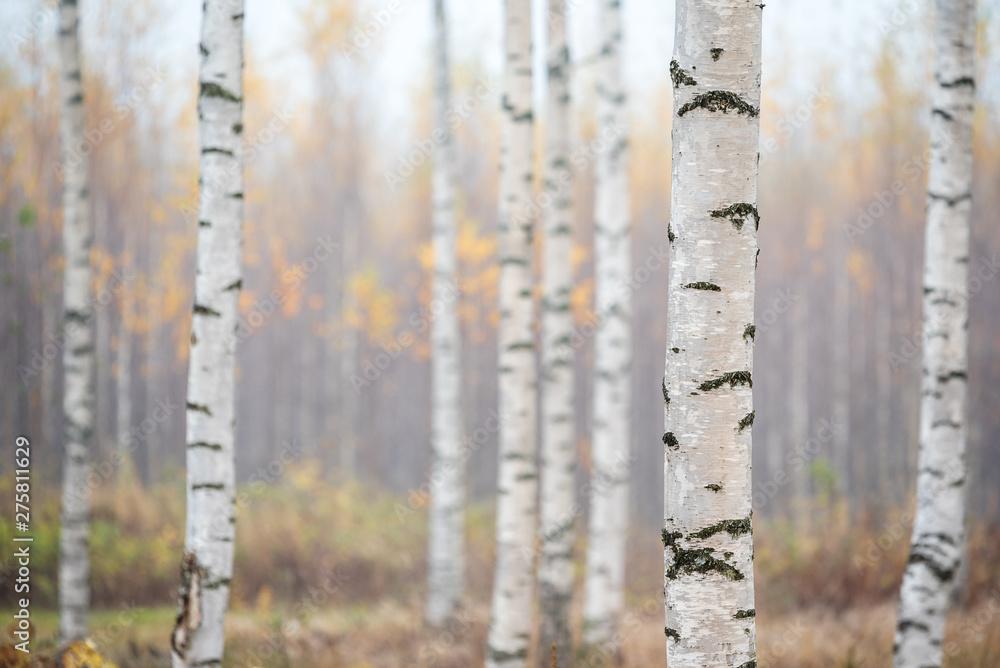 Birch forest in fog. Autumn view. Focus in foreground tree trunk.