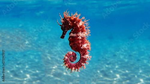 Canvas Print Mediterranean Seahorse - Hippocampus guttulatus