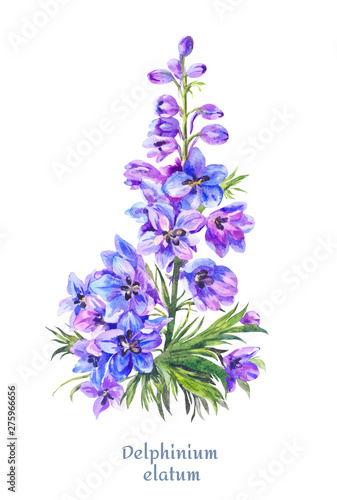 Photo Delphinium illustration, watercolor blue larkspur