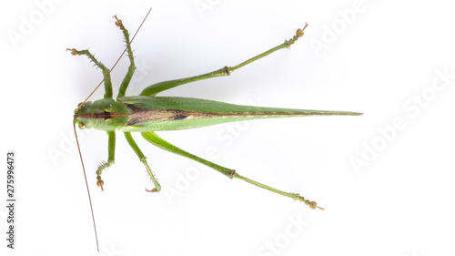 Fotografie, Tablou Big green grasshopper on white background close up