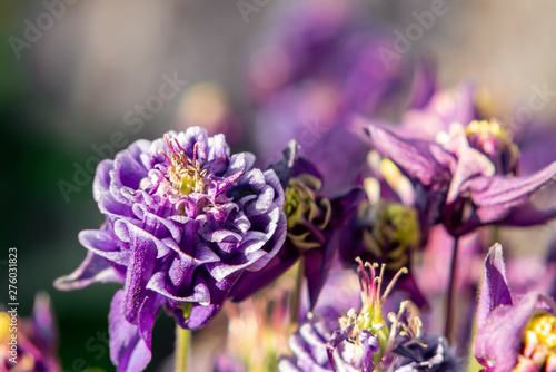 Foto Deep purple flowers terry aquilegia Winky on a bed in the summer garden close-up