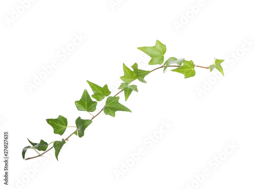 ivy leaves isolated on a white background Fototapete