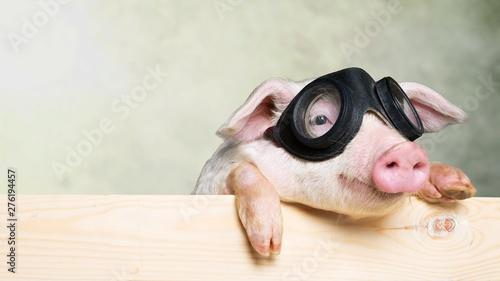 Fotografia, Obraz Cute piglet animal in aviator glasses hanging on a fence