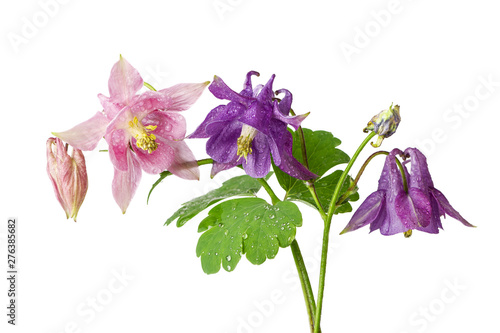 Beautiful flowers of aquilegia plant pink and lila colors isolated on white back Fotobehang