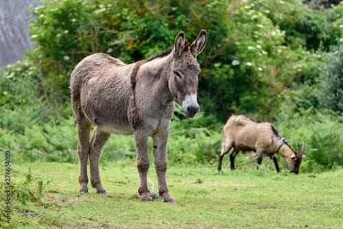 Fotografia Wild donkey accompanied by a goat grazing in the background.