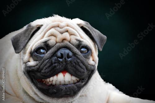Fototapeta Pug unique smile