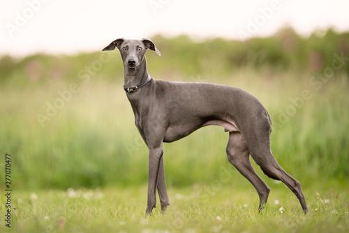 Canvastavla Beautiful dog breeds
