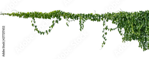 Leinwand Poster Plant vine green ivy leaves tropic hanging, climbing isolated on white background