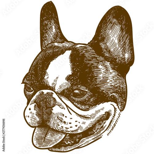 Canvas Print engraving illustration of  french bulldog head