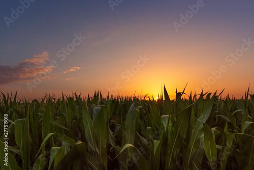 Valokuvatapetti Corn field at sunset