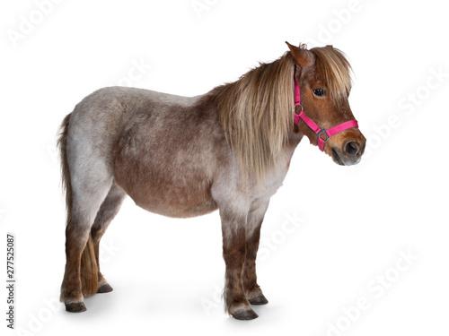 Stampa su Tela Brown with white Shetland pony, standing side ways