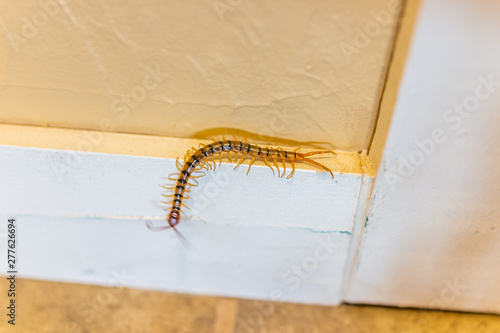 Stampa su Tela Large house centipede insect bug crawling on wall in New Mexico with many legs m