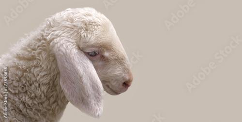 Fototapeta Portrait of a young sheep.