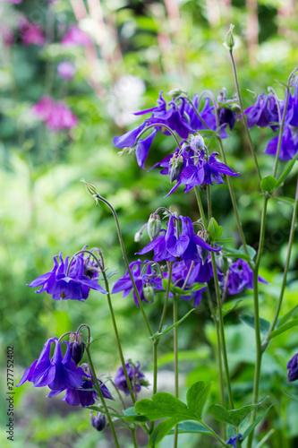 Foto Blue Aquilegia vulgaris flowers in cottage garden
