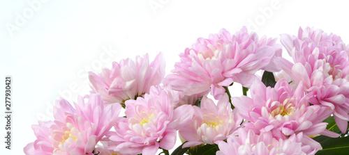 Fotografia Pink chrysanthemum; asters  flower. Nature background.