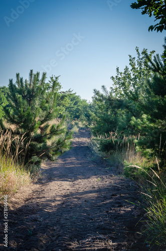 Fotografie, Tablou Firebreak in a young pine forest