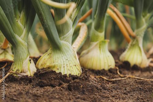 Foto Closeup of fresh, organic white onions growing in the garden