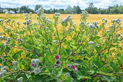 Leinwand Poster Wild greater burdock bush with purple flowers and prickly bulbs at the border of