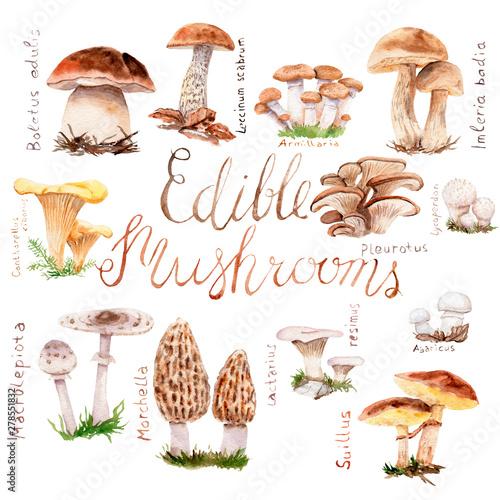 Carta da parati watercolor drawings of forest mushrooms - a set of edible mushrooms
