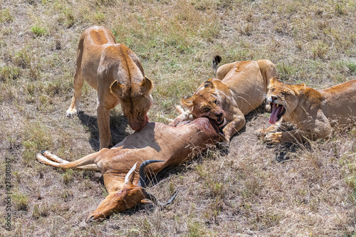 Canvas lioness who killed an antelope and is eating it, the young lion waiting beside
