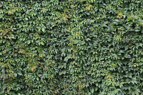 Fotografia Wall, thickly covered with green leaves of Victoria creeper (Parthenocissus quinquefolia, Five-leaved ivy, Virginia creeper, five-finger), summer