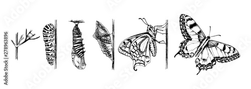 Foto Metamorphosis of the Swallowtail - Papilio machaon - butterfly