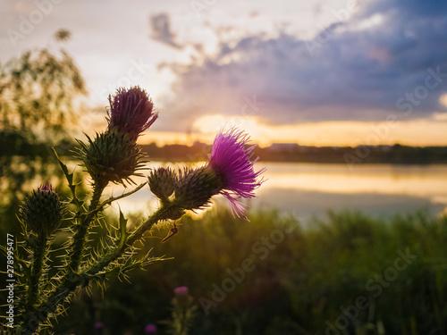 Fototapeta Spear thistle purple flower over sunset sky background