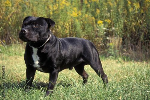 Staffordshire Bull Terrier Fototapete