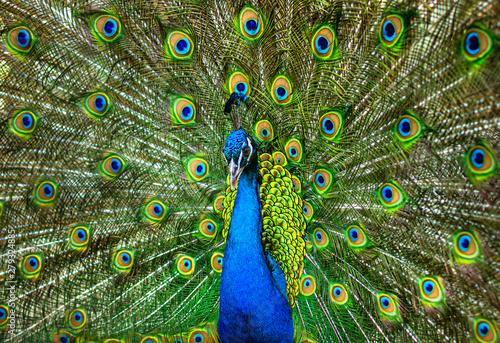 Fotografia beautiful peacock