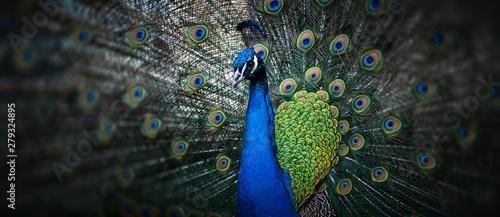 Stampa su Tela beautiful peacock