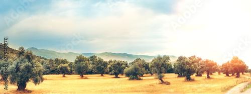 Fotografia Panoramic view of Olive Farm.