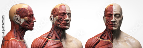 Fotografia Human body anatomy muscles structure of a male, front view  side view and perspe