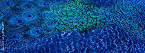Photo Blue peacock feathers in closeup