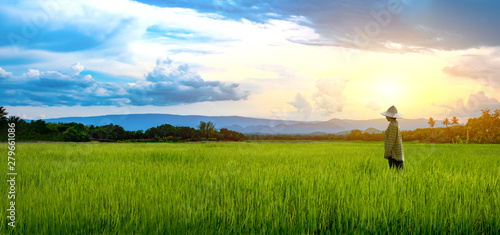 Photo Woman farmer staring green rice seedlings in a paddy field with beautiful sky an