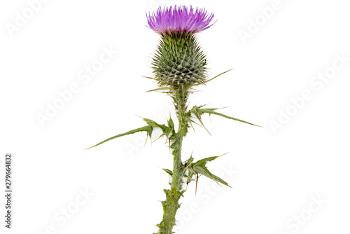 Valokuva A large isolated Thistle with stem and leaves weighted to the centre of the fram