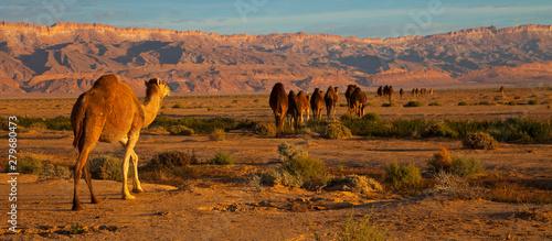 Fotografie, Obraz Dromedarios, Desierto del sur de Tunez, Africa