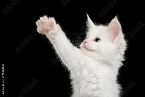 Fotografie, Obraz Portrait of Little White Maine Coon Kitten Raising paw on Isolated Black Backgro
