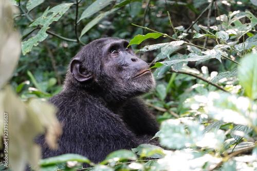 Fotografía Chimpanzee in Uganda