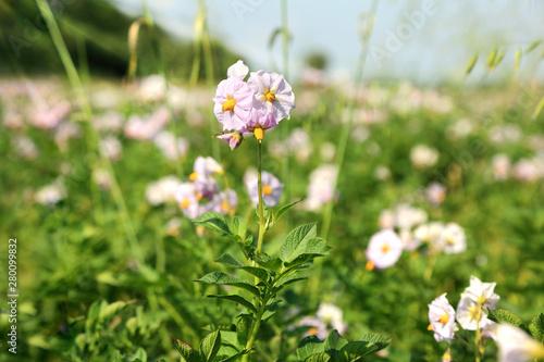 Pszczoła i kwiaty kwitnących kartofli, ziemniaków.