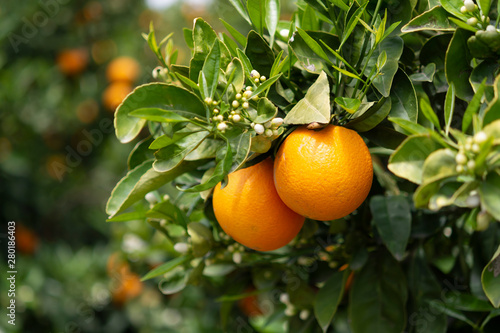 Foto Orange citrus fruit plantation on Peloponnese, Greece, new harvest of sweet juic