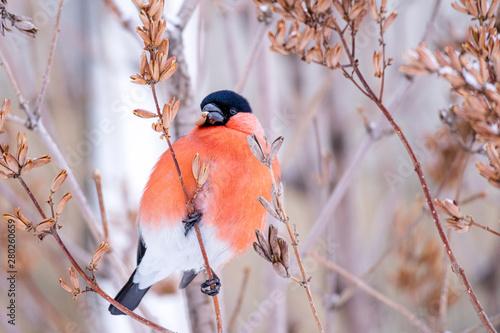 Fotografía winter bird bullfinch in beak of the Finch seeds plants