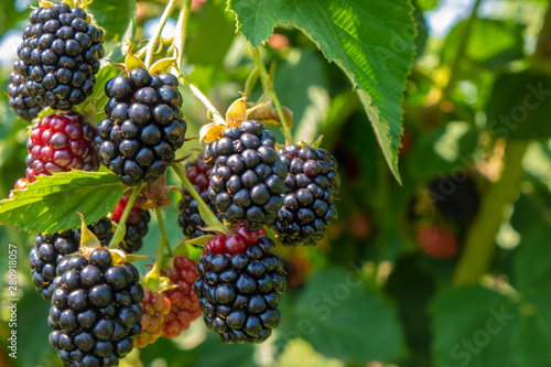 Canvas Print Blackberry on the bush in the farm garden