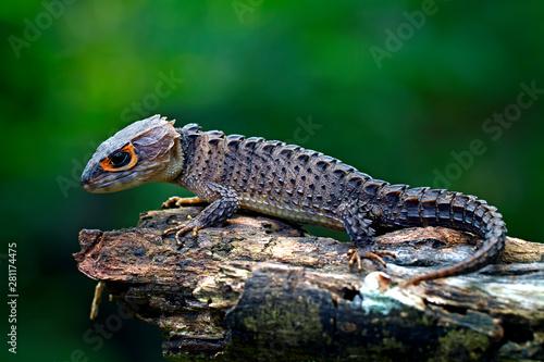 Stampa su Tela red eyed Crocodile skink lizard in the garden
