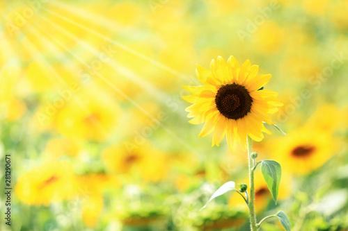 Pole słoneczników pod słońce.