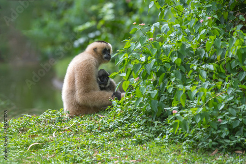 Pileated gibbon mother was carrying her baby on the floor Fototapet
