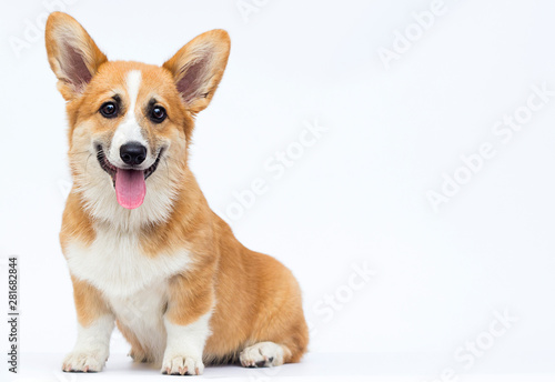 Canvas Print little puppy sits and looks, breed welsh corgi pembroke