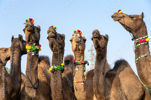 Carta da parati Camels in desert Thar during Pushkar Camel Fair, Rajasthan, India