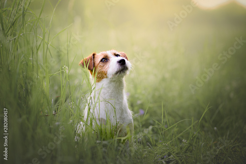 Photo Jack russel terrier, dog, natural environment