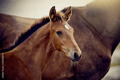 Valokuvatapetti Portrait of a red foal sporting breed