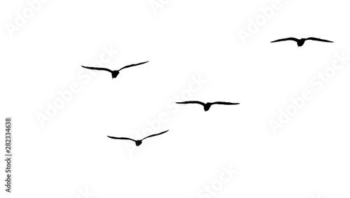flock of migratory seagulls, silhouette